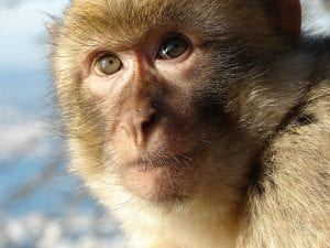 This is a monkey (a Gibraltar macaque). Licensed under CC0 3.0.