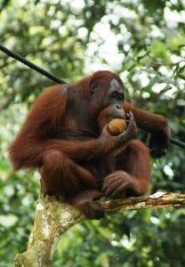An orang-utan in Borneo, Malaysia. Licensed under CC0 3.0.