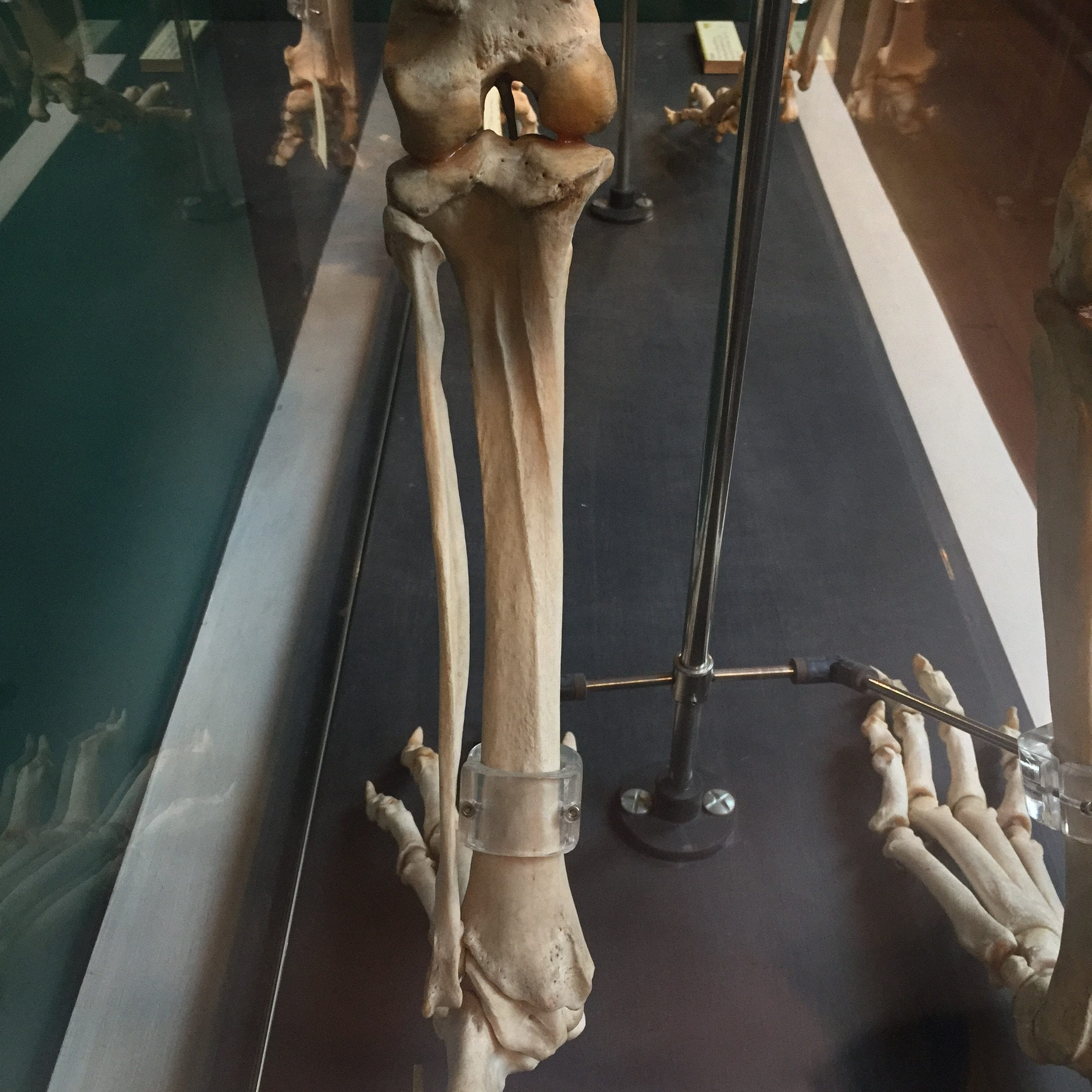 The Leg Bones Connected To The Hip Bone Ucl Researchers In Museums