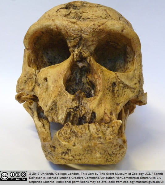 Neanderthal   UCL Researchers in Museums
