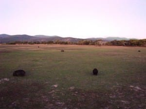 Herd of wombats at Narawntapu
