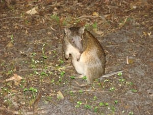 Quenda or Southern Brown Bandicoot