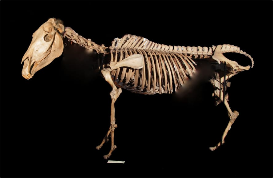 Image of the Grant Museum Quagga skeleton