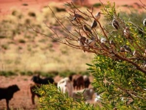 Cattle and zebra finch
