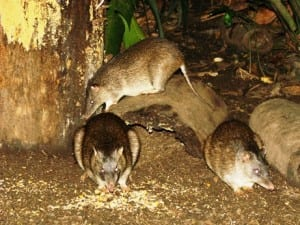 How wild is a bandicoot when you use bait to attract it?