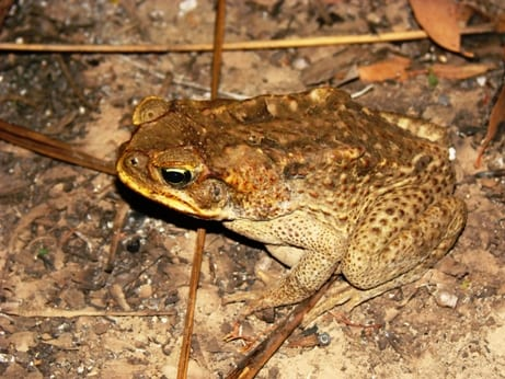 how to prepare cane toad