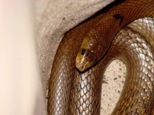 Identifying a western brown snake by photographing its head scales