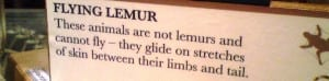 A label from the Grant Museum that says that flying lemures are not lemurs and cannot fly