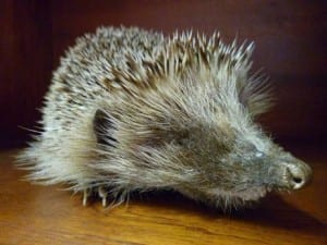 Erinaceus europaeus; European Hedgehog