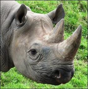 Black rhinoceros. Photograph by Save the Rhino