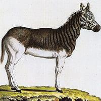 extinction in South Africa 1883 Plate CCCXVII in von Schreber, Die Saugethiere in Abildungen Nach der Natur (Erlangen, 1840-1855)