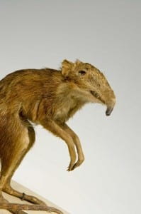 Taxidermy Elephant shrew