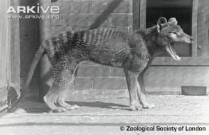Thylacine at ZSL