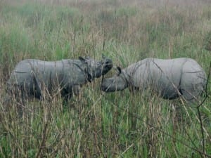 Two Indian one horned rhinos. Jack Ashby, 2008