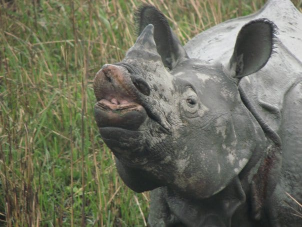 the dying specie of the black rhinoceros The black rhinoceros is one of the two species of rhinoceros found in africa the skin of the black rhinoceros is gray and not black as its common name may suggest.