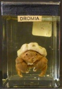 Sponge crab. Genus Dromia, family Dromiidae