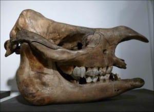 Skull of a Javan rhino