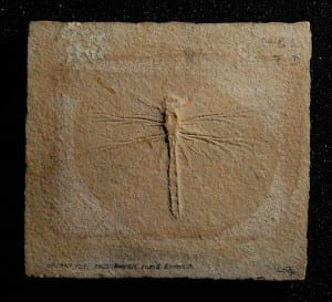 Image of a fossil dragonfly from the Grant Museum of Zoology