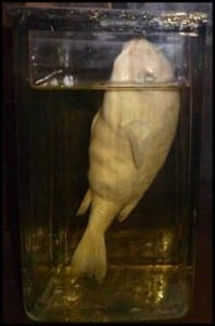 The 'half-smooth golden puffer fish' that lives at the Grant Museum of Zoology