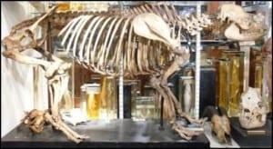 Southeast Asian Tapir. Full Skeleton