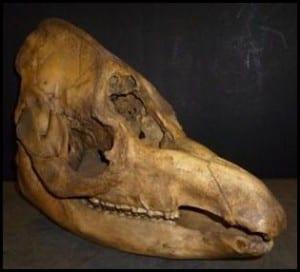 Tapir Skull, lateral-anterior-dorsal view