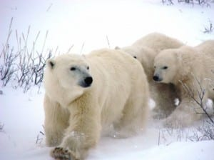 Polar bear mother and cubs (C) Jack Ashby