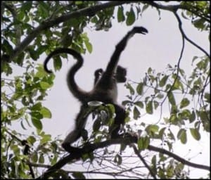 Wild spider monkey demonstrating its agility by branch walking. (C) E-L NIcholls