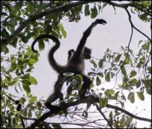 Wild spider monkey demonstrating its agility by branch walking. (C) E-L NIcholls