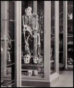 Male gorilla skeleton in the Grant Museum, taken in the 1880s