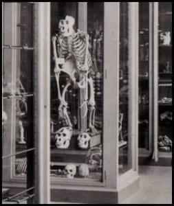 Male gorilla skeleton in the Grant Museum, taken in the 1880s