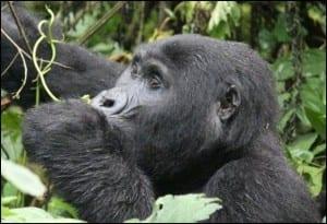 Kabukojo, the blackback gorilla of the Rusheguru group, in Bwindi Impenetrable Forest, Uganda. (C) E-L Nicholls