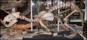 Lion skeleton at the Grant Museum of Zoology