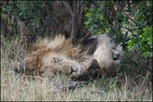 A lion, doing what lions like to do. (C) E-L Nicholls