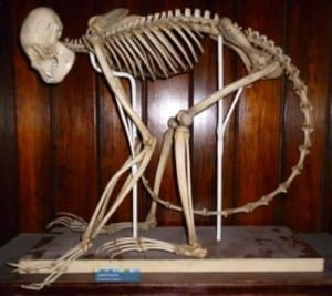 The mounted spider monkey skeleton at the Grant Museum of Zoology