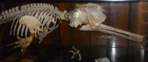 Ganges river dolphin skeleton