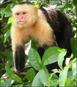 Cebus capucinus; white headed capuchin monkey in Costa Rica