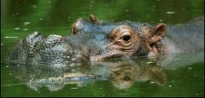 Hippopotamus wallowing in Kenya