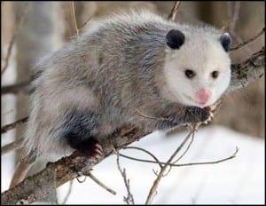 A beautiful Virgina opossum