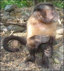 Lucia the brown capuchin monkey; Cebus apella