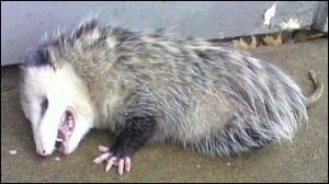 A Virginia opossum playing dead