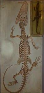 Adult Siamese crocodile skeleton and preserved juvenile