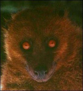 Male monkey-faced bat