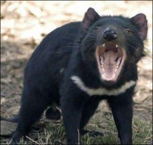 Tasmanian devil yawning