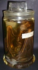 Monkey-faced bat (Pteralopex) at the Grant Museum of Zoology. LDUCZ-Z1598
