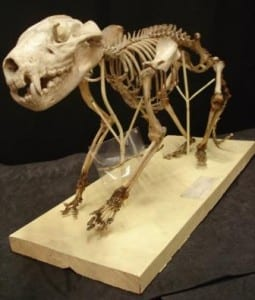 Tasmanian devil skeleton at the Grant Museum of Zoology