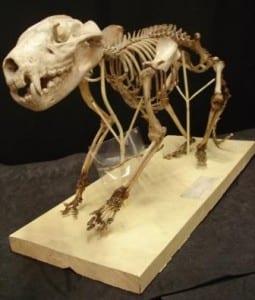 Tasmanian devil skeleton at the Grant Museum of Zoology