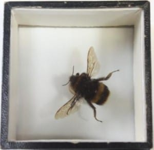 Bumble bee at the Grant Museum of Zoology