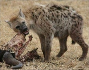 Spotted hyena enjoying some lunch