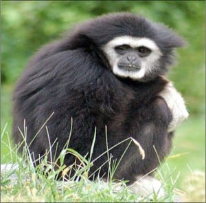 White handed gibbon sitting