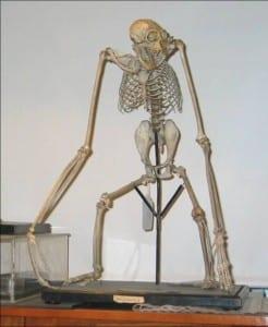 White handed gibbon skeleton at the Grant Musuem of Zoology